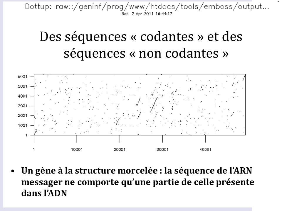 Un gène à la structure morcelée : la séquence de lARN messager ne comporte quune partie de celle présente dans lADN Des séquences « codantes » et des