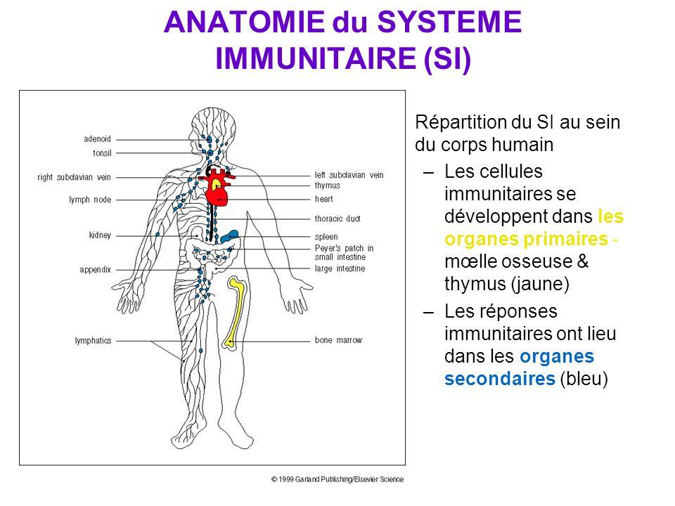 ANATOMIE du SYSTEME IMMUNITAIRE (SI) Répartition du SI au sein du corps humain –Les cellules immunitaires se développent dans les organes primaires -