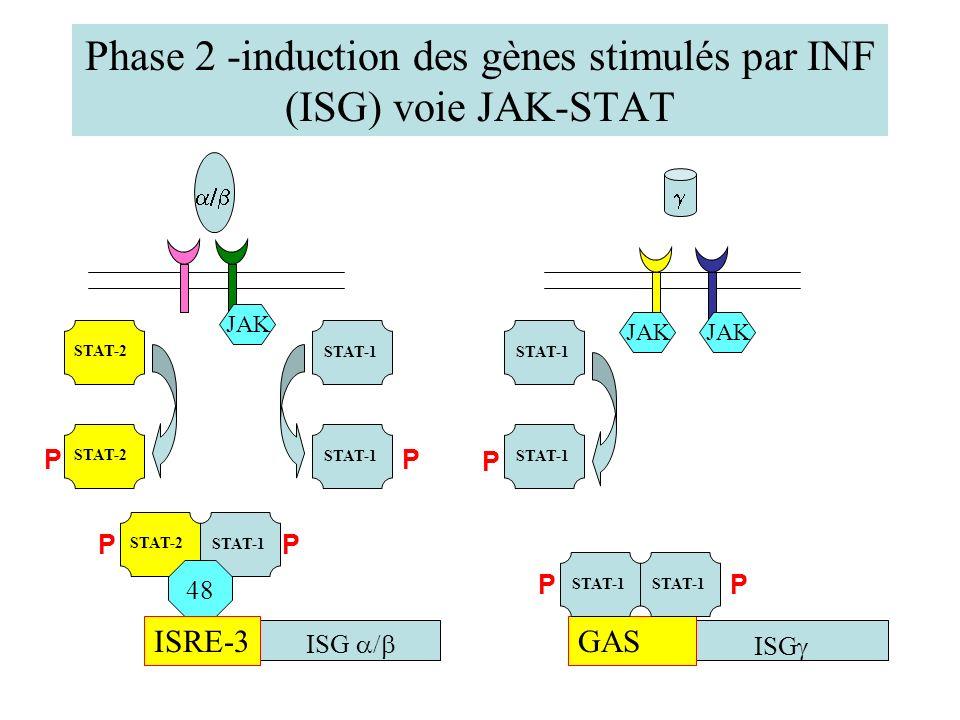Phase 2 -induction des gènes stimulés par INF (ISG) voie JAK-STAT JAK STAT-1 STAT-2 STAT-1 PP P STAT-2 STAT-1 PP 48 ISRE-3GAS ISG STAT-1 P P