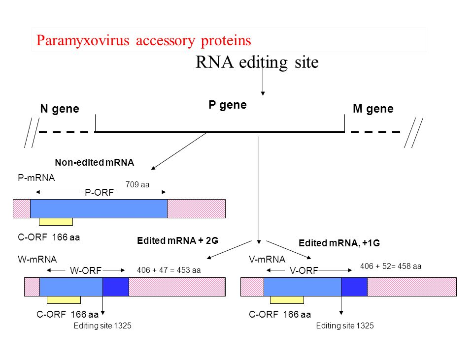 RNA editing site C-ORF 166 aa P gene M geneN gene Non-edited mRNA P-ORF P-mRNA 709 aa C-ORF 166 aa Editing site 1325 Edited mRNA + 2G Edited mRNA, +1G