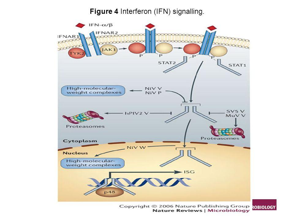Eaton BT et al. (2006) Hendra and Nipah viruses: different and dangerous Nat Rev Microbiol. 4: 23–35 doi:10.1038/nrmicro1323 Figure 4 Interferon (IFN)
