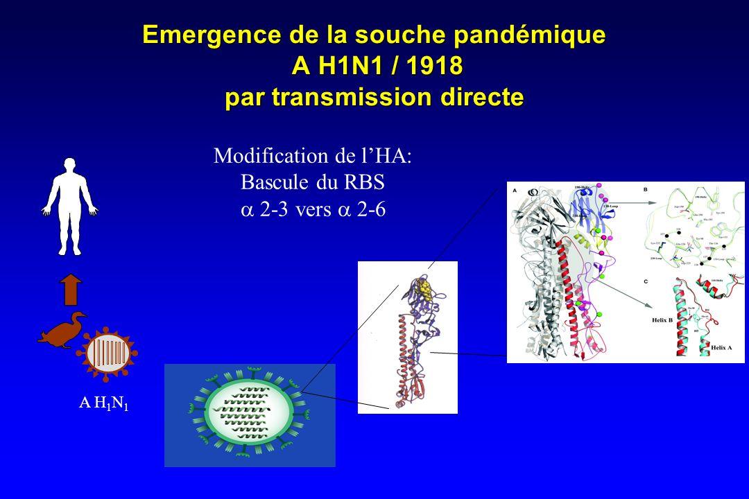 Emergence de la souche pandémique A H1N1 / 1918 par transmission directe Modification de lHA: Bascule du RBS 2-3 vers 2-6 A H 1 N 1