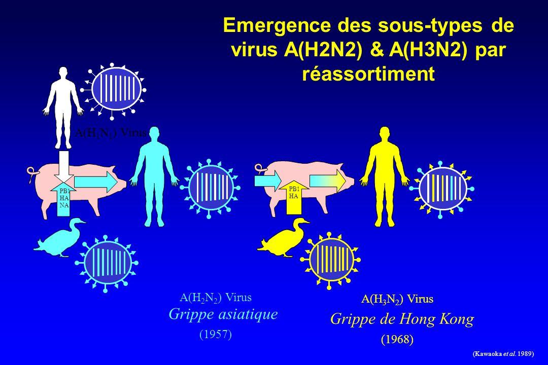 PB1 HA NA PB1 HA A(H 2 N 2 ) Virus Grippe asiatique (1957) A(H 3 N 2 ) Virus Grippe de Hong Kong (1968) Emergence des sous-types de virus A(H2N2) & A(H3N2) par réassortiment A(H 1 N 1 ) Virus (Kawaoka et al.