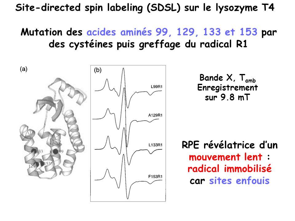 Mutation des acides aminés 99, 129, 133 et 153 par des cystéines puis greffage du radical R1 Site-directed spin labeling (SDSL) sur le lysozyme T4 RPE