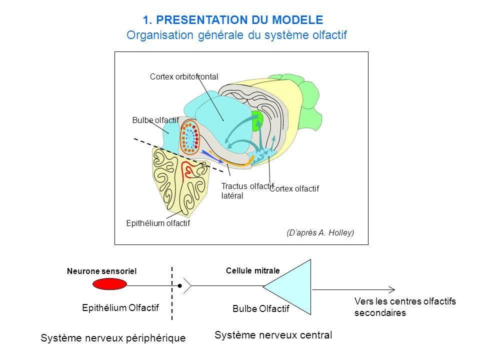 Le bulbe olfactif (BO) Paléocortex laminaire Cellules relais: cellules mitrales 2 niveaux de modulation de lactivité des cellules mitrales –Cellules périglomérulaires (CGl) –Cellules granulaires (CGr) Organisation anatomique et synaptique du bulbe olfactif BO Couche du nerf olfactif Couche glomérulaire Couche plexiforme externe Couche des cellules mitrales Couche plexiforme interne Couche granulaire
