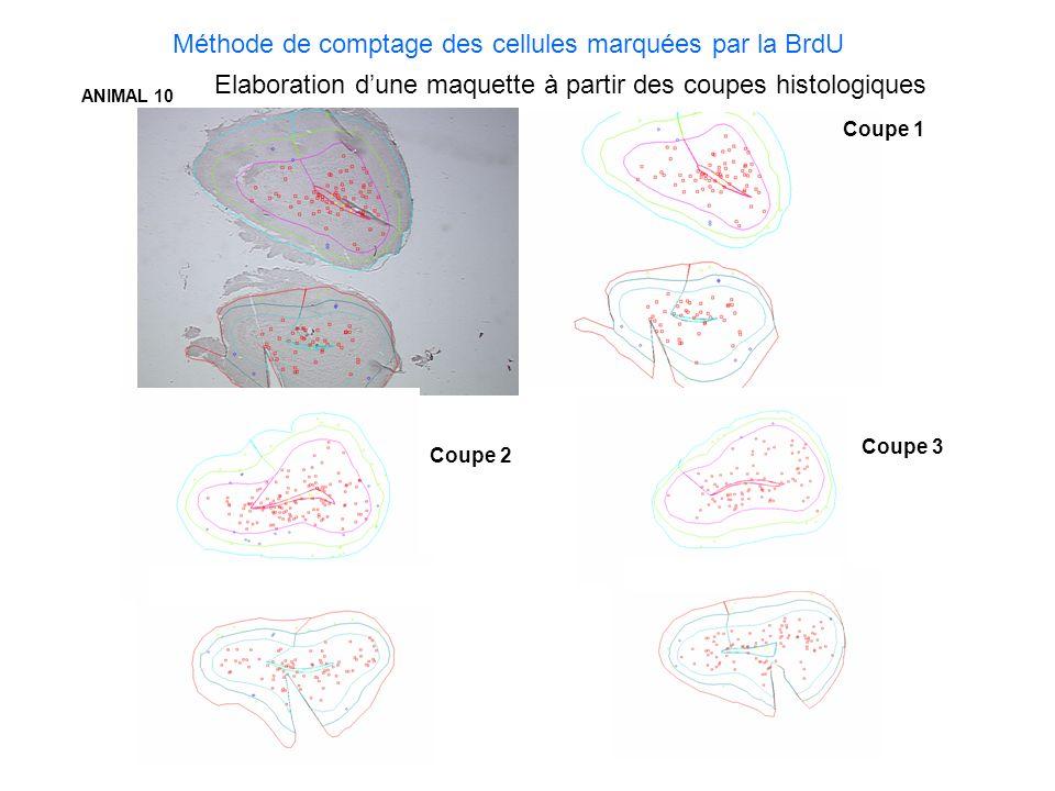 Coupe 1 Coupe 2 Coupe 3 ANIMAL 10 Méthode de comptage des cellules marquées par la BrdU Elaboration dune maquette à partir des coupes histologiques