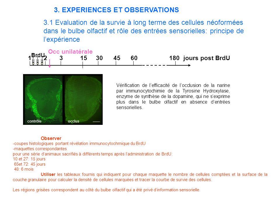 3.1 Evaluation de la survie à long terme des cellules néoformées dans le bulbe olfactif et rôle des entrées sensorielles: principe de lexpérience 1 2