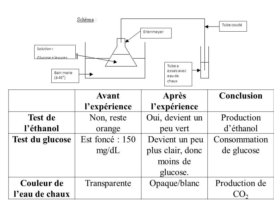 Solution : Glucose + levures Bain marie (à 40°) Tube a essais avec eau de chaux Erlenmeyer Tube coudé Avant lexpérience Après lexpérience Conclusion T