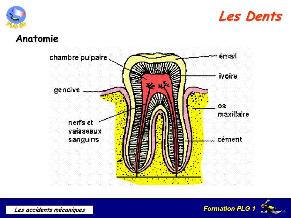 Formation PLG 1 Les accidents mécaniques Les Dents Anatomie