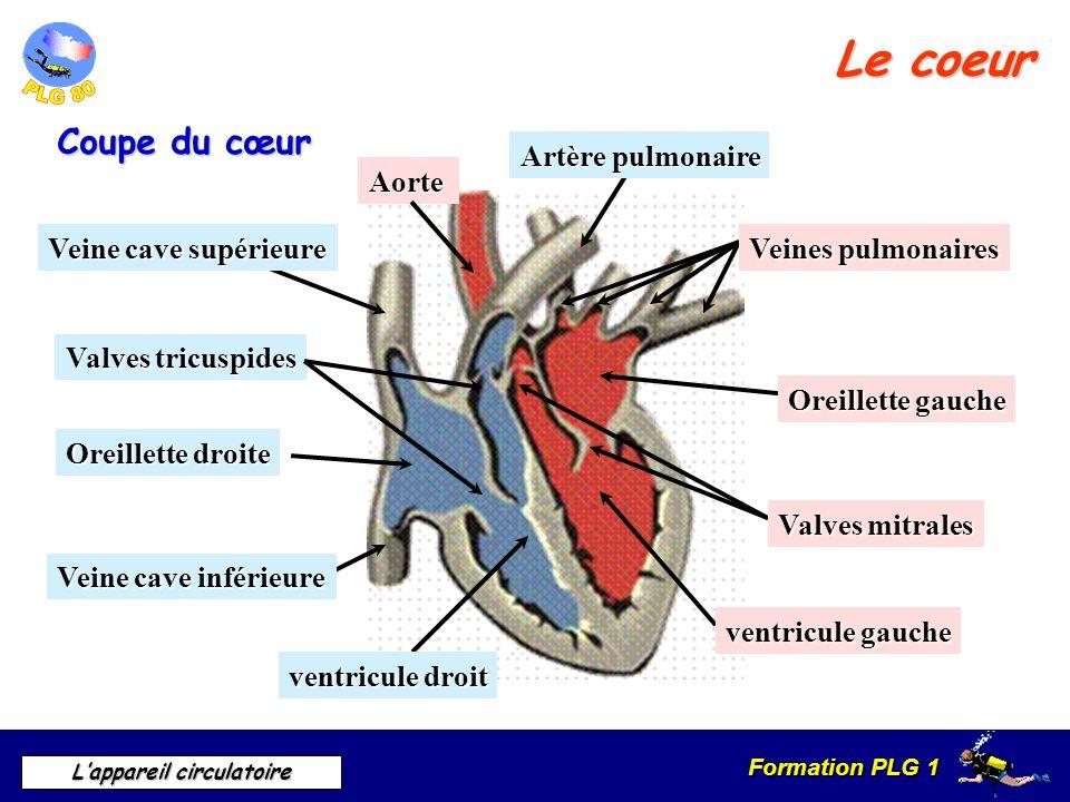 Formation PLG 1 Lappareil circulatoire Le coeur Coupe du cœur Oreillette gauche Oreillette droite ventricule droit ventricule gauche Valves mitrales V