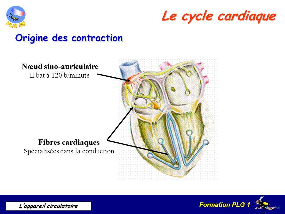 Formation PLG 1 Lappareil circulatoire Le cycle cardiaque Origine des contraction Nœud sino-auriculaire Il bat à 120 b/minute Fibres cardiaques Spécia
