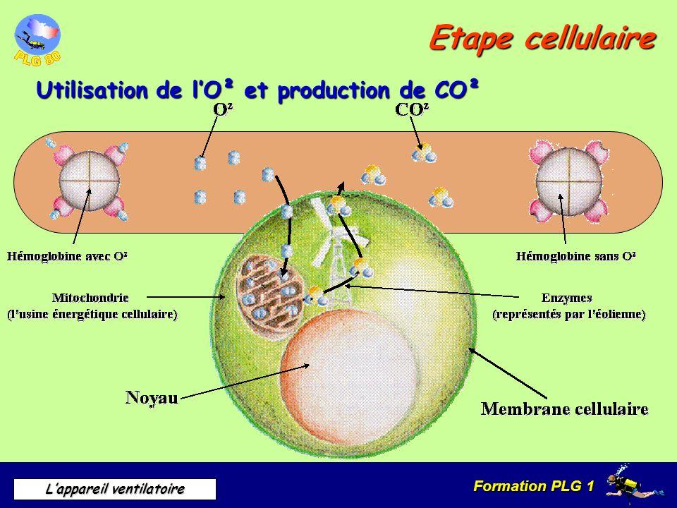 Formation PLG 1 Lappareil ventilatoire Etape cellulaire Utilisation de lO² et production de CO²