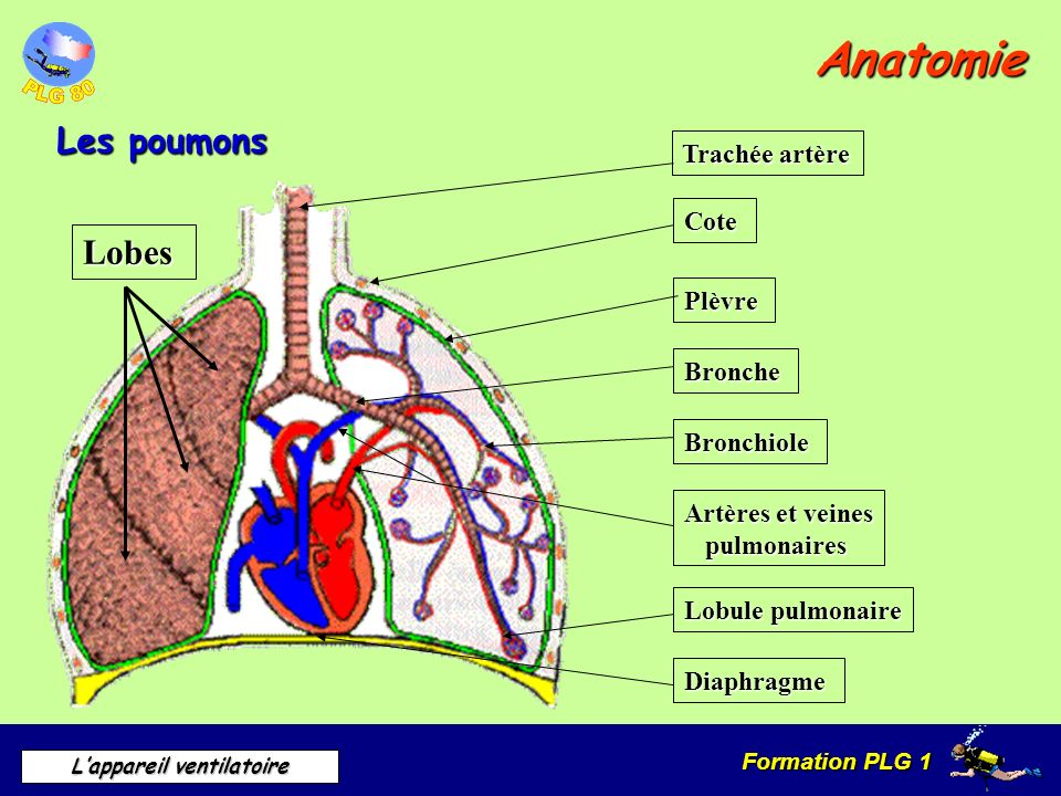 Formation PLG 1 Lappareil ventilatoire Anatomie Les poumons Trachée artère Cote Plèvre Bronche Bronchiole Artères et veines pulmonaires Lobule pulmona