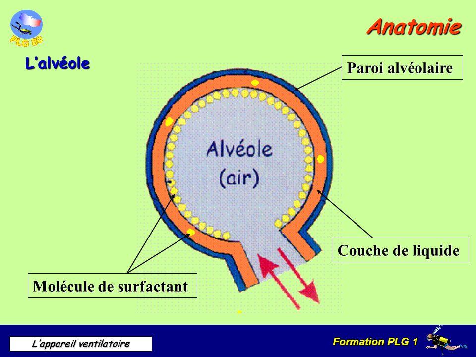 Formation PLG 1 Lappareil ventilatoire Anatomie Lalvéole Molécule de surfactant Paroi alvéolaire Couche de liquide
