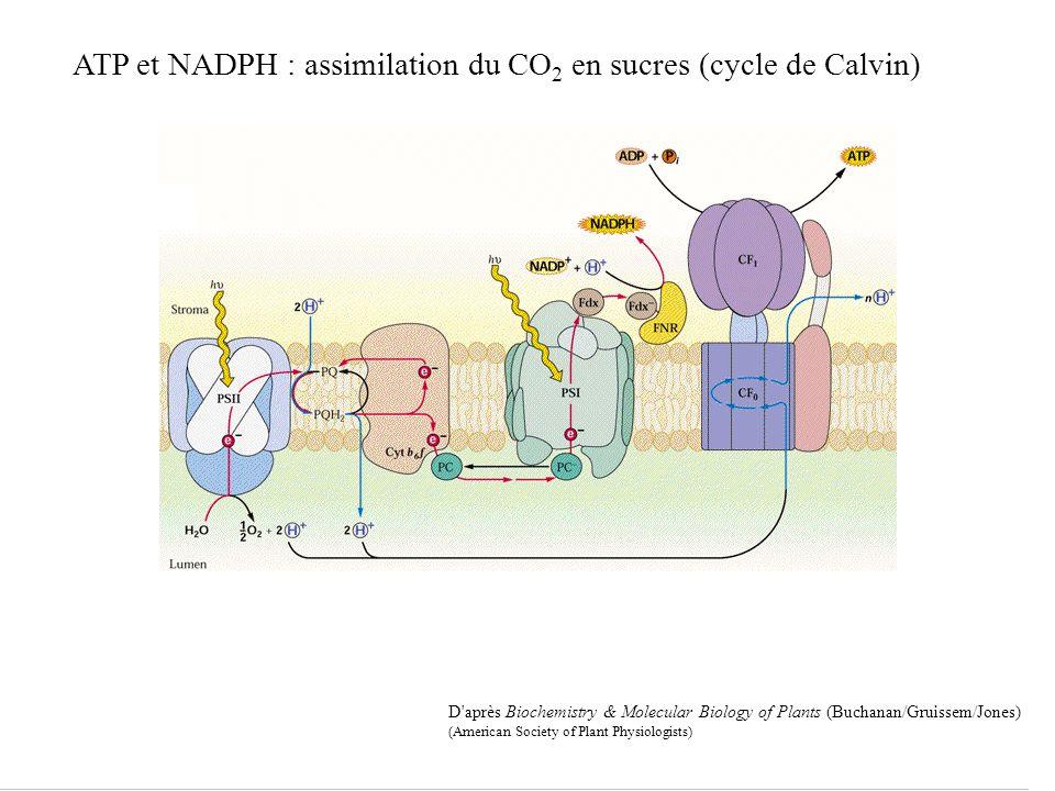 D après Biochemistry & Molecular Biology of Plants (Buchanan/Gruissem/Jones) (American Society of Plant Physiologists) ATP et NADPH : assimilation du CO 2 en sucres (cycle de Calvin)