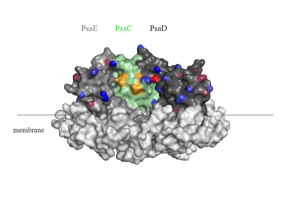 PsaE PsaC PsaD membrane