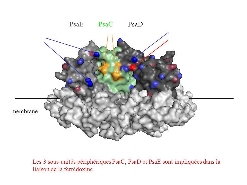 PsaE PsaC PsaD Les 3 sous-unités périphériques PsaC, PsaD et PsaE sont impliquées dans la liaison de la ferrédoxine membrane