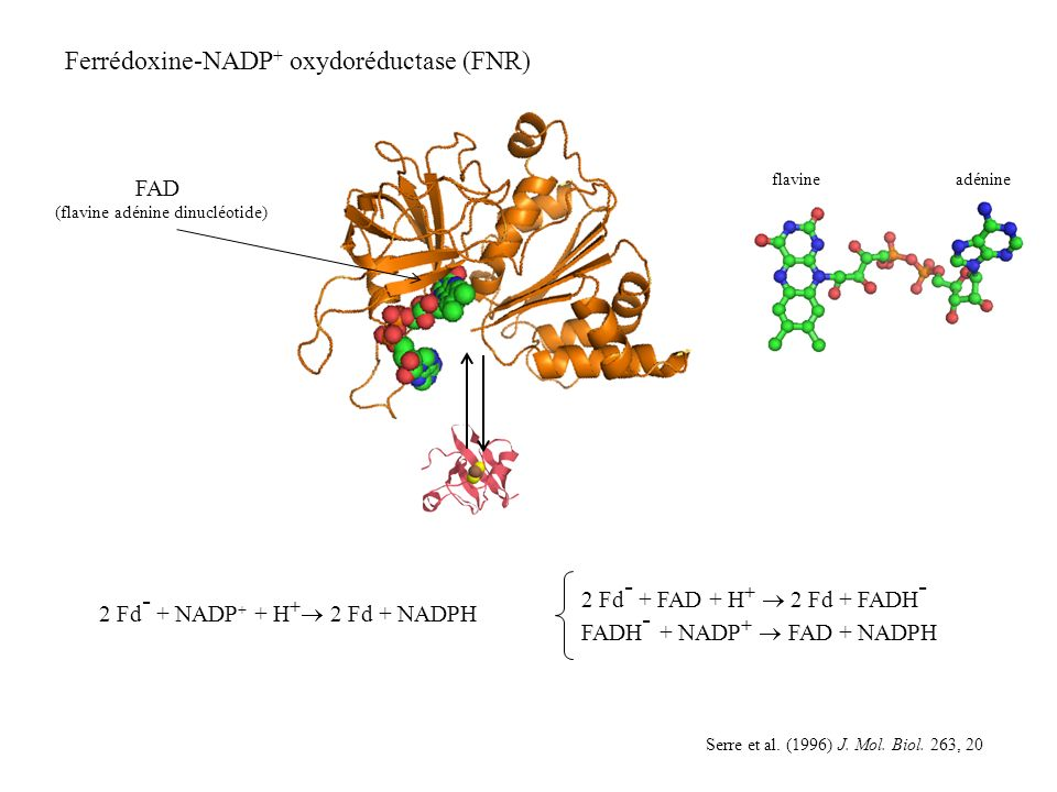 Ferrédoxine-NADP + oxydoréductase (FNR) Serre et al.