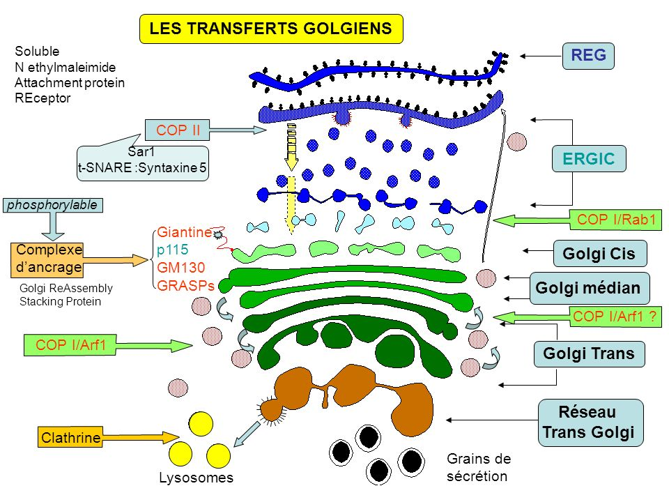 LES TRANSFERTS GOLGIENS Lysosomes Giantine p115 GM130 GRASPs Clathrine Complexe dancrage REG ERGIC Golgi médian Golgi Trans Réseau Trans Golgi Golgi Cis Grains de sécrétion Sar1 t-SNARE :Syntaxine 5 Golgi ReAssembly Stacking Protein COP I/Rab1 phosphorylable COP II Soluble N ethylmaleimide Attachment protein REceptor COP I/Arf1 .