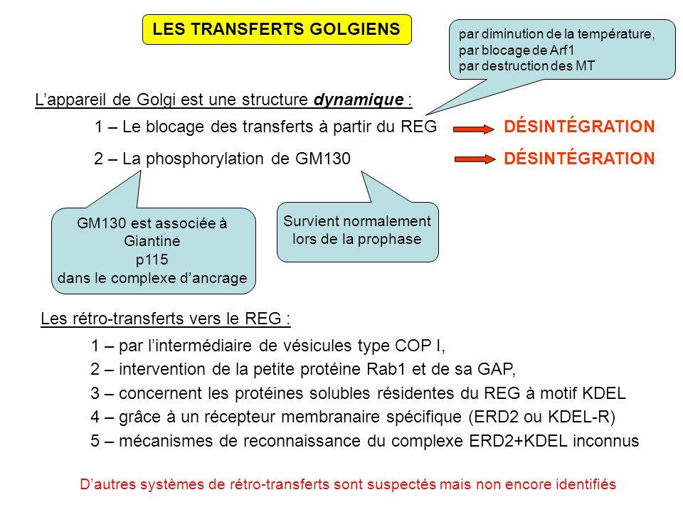 LES TRANSFERTS GOLGIENS Lappareil de Golgi est une structure dynamique : 1 – Le blocage des transferts à partir du REGDÉSINTÉGRATION 2 – La phosphorylation de GM130DÉSINTÉGRATION Survient normalement lors de la prophase GM130 est associée à Giantine p115 dans le complexe dancrage Les rétro-transferts vers le REG : 1 – par lintermédiaire de vésicules type COP I, 3 – concernent les protéines solubles résidentes du REG à motif KDEL 4 – grâce à un récepteur membranaire spécifique (ERD2 ou KDEL-R) 5 – mécanismes de reconnaissance du complexe ERD2+KDEL inconnus 2 – intervention de la petite protéine Rab1 et de sa GAP, par diminution de la température, par blocage de Arf1 par destruction des MT Dautres systèmes de rétro-transferts sont suspectés mais non encore identifiés