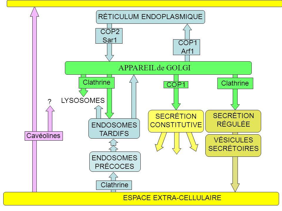 RÉTICULUM ENDOPLASMIQUE APPAREIL de GOLGI LYSOSOMES ENDOSOMES PRÉCOCES ENDOSOMES TARDIFS ESPACE EXTRA-CELLULAIRE SECRÉTION CONSTITUTIVE COP2 Sar1 Clathrine COP1 Arf1 COP1 Clathrine Cavéolines .