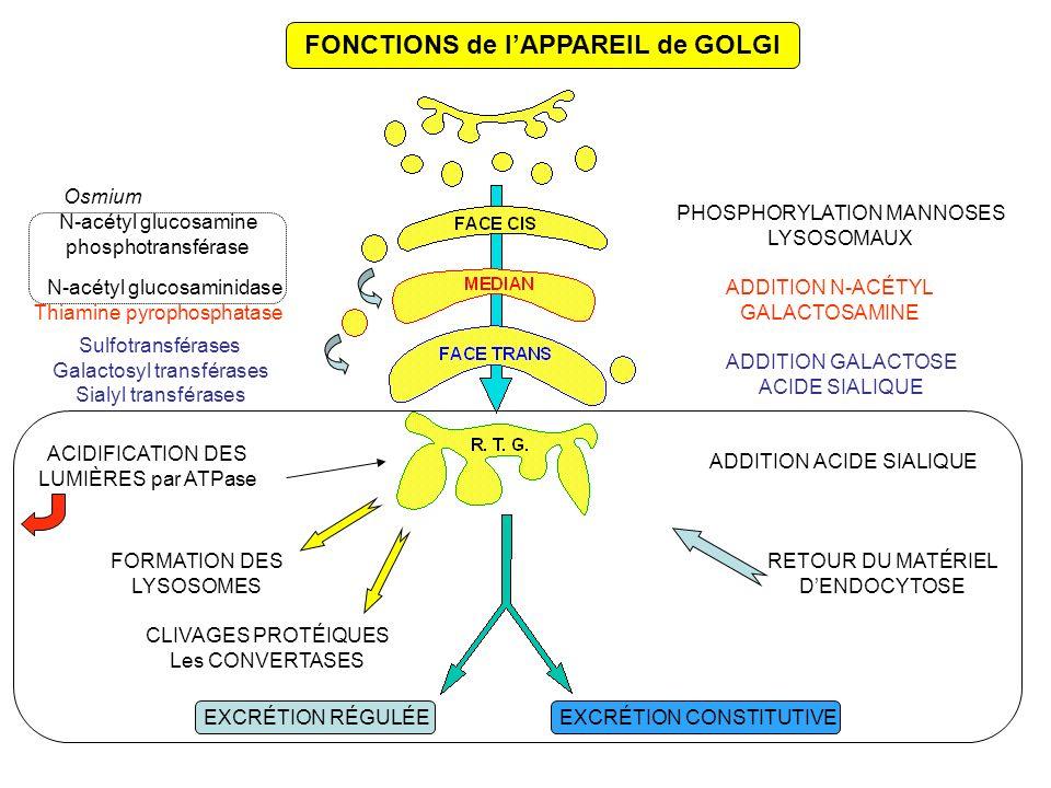 FONCTIONS de lAPPAREIL de GOLGI PHOSPHORYLATION MANNOSES LYSOSOMAUX ADDITION N-ACÉTYL GALACTOSAMINE ADDITION GALACTOSE ACIDE SIALIQUE ADDITION ACIDE SIALIQUE FORMATION DES LYSOSOMES Thiamine pyrophosphatase Osmium RETOUR DU MATÉRIEL DENDOCYTOSE EXCRÉTION RÉGULÉEEXCRÉTION CONSTITUTIVE CLIVAGES PROTÉIQUES Les CONVERTASES N-acétyl glucosamine phosphotransférase N-acétyl glucosaminidase ACIDIFICATION DES LUMIÈRES par ATPase Sulfotransférases Galactosyl transférases Sialyl transférases