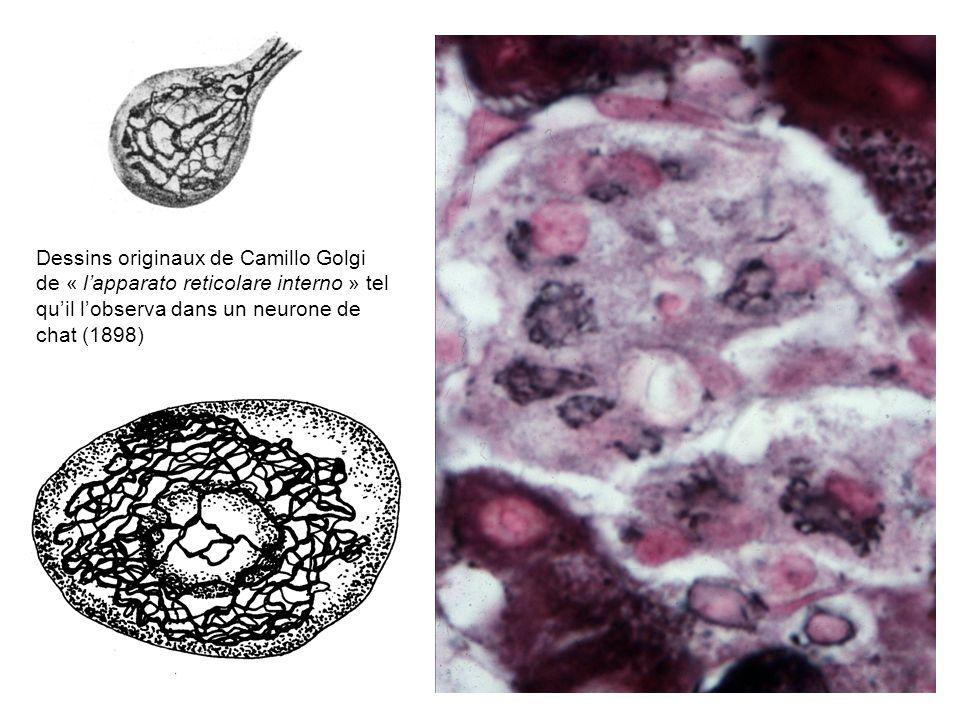 Dessins originaux de Camillo Golgi de « lapparato reticolare interno » tel quil lobserva dans un neurone de chat (1898)