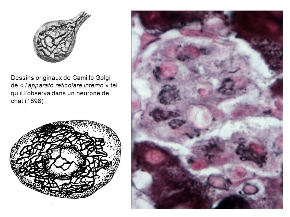 COPII Sar1 + Dynéine-dynactine Cis-GolgiGolgi médianTrans-Golgi ERGIC Endoplasmic Reticulum Golgi Intermediate Compartment REG COPI + - Kinésine pH 7 5,5 Protéine sécrétoireRécepteur KDELProtéine résidente avec séquence KDEL Arf1 Existence réelle?
