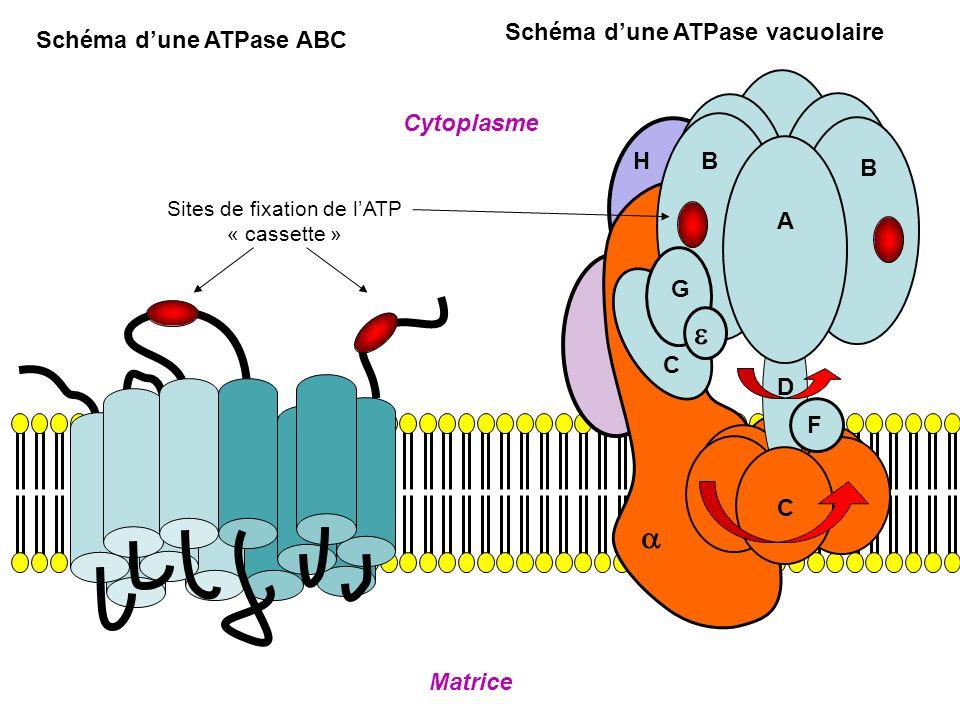 A B BH G C D F C Matrice Cytoplasme Schéma dune ATPase vacuolaire Schéma dune ATPase ABC Sites de fixation de lATP « cassette »