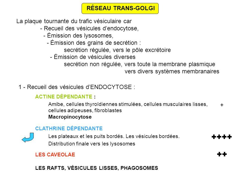 RÉSEAU TRANS-GOLGI La plaque tournante du trafic vésiculaire car - Recueil des vésicules dendocytose, - Émission des lysosomes, - Émission des grains de secrétion : secrétion régulée, vers le pôle excrétoire - Émission de vésicules diverses secrétion non régulée, vers toute la membrane plasmique vers divers systèmes membranaires 1 - Recueil des vésicules dENDOCYTOSE : ACTINE DÉPENDANTE : Amibe, cellules thyroïdiennes stimulées, cellules musculaires lisses, cellules adipeuses, fibroblastes Macropinocytose CLATHRINE DÉPENDANTE Les plateaux et les puits bordés.