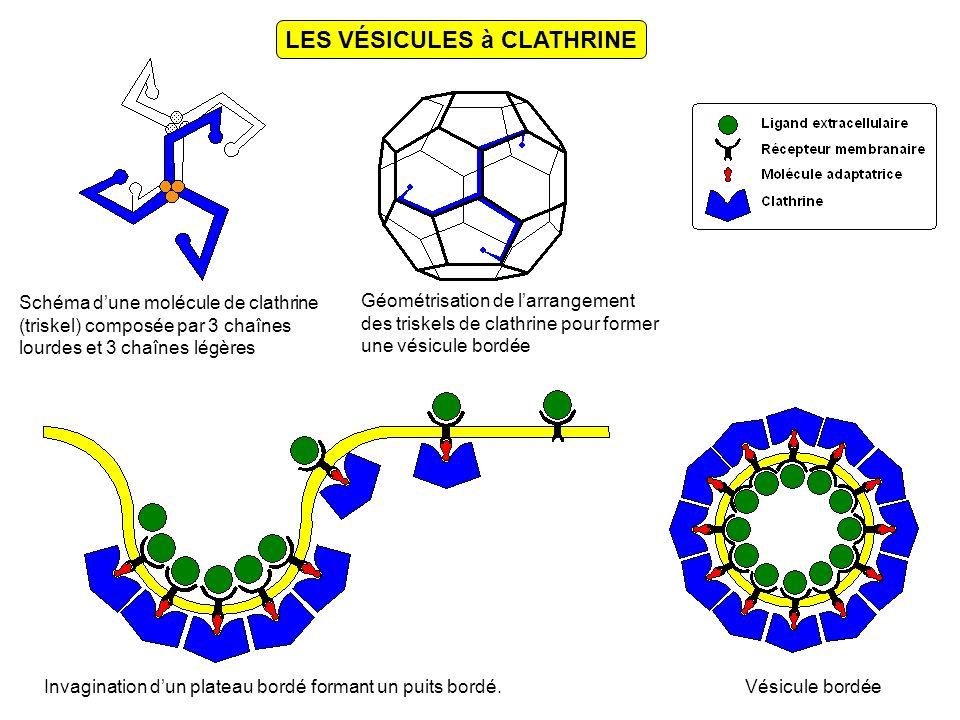 LES VÉSICULES à CLATHRINE Schéma dune molécule de clathrine (triskel) composée par 3 chaînes lourdes et 3 chaînes légères Géométrisation de larrangement des triskels de clathrine pour former une vésicule bordée Invagination dun plateau bordé formant un puits bordé.Vésicule bordée