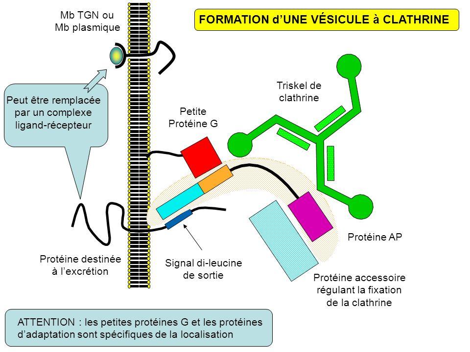 FORMATION dUNE VÉSICULE à CLATHRINE Mb TGN ou Mb plasmique Protéine destinée à lexcrétion Signal di-leucine de sortie Peut être remplacée par un complexe ligand-récepteur Protéine AP Petite Protéine G Protéine accessoire régulant la fixation de la clathrine Triskel de clathrine ATTENTION : les petites protéines G et les protéines dadaptation sont spécifiques de la localisation