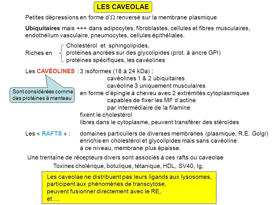 LES CAVEOLAE Petites dépressions en forme d renversé sur la membrane plasmique Ubiquitaires mais +++ dans adipocytes, fibroblastes, cellules et fibres musculaires, endothélium vasculaire, pneumocytes, cellules épithéliales.