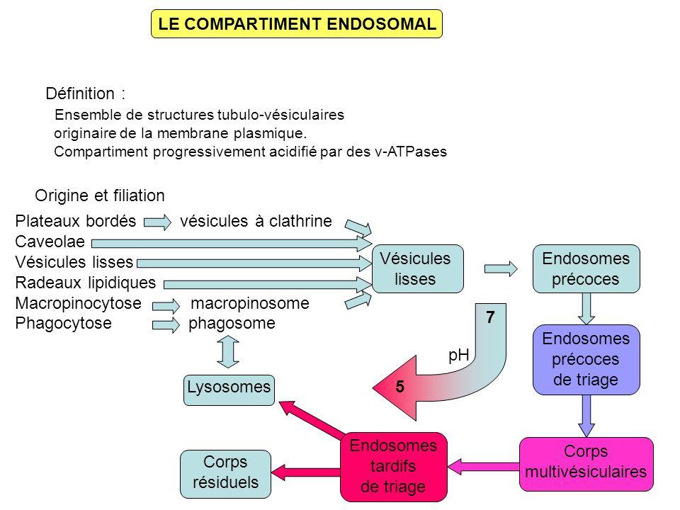LE COMPARTIMENT ENDOSOMAL Définition : Ensemble de structures tubulo-vésiculaires originaire de la membrane plasmique.
