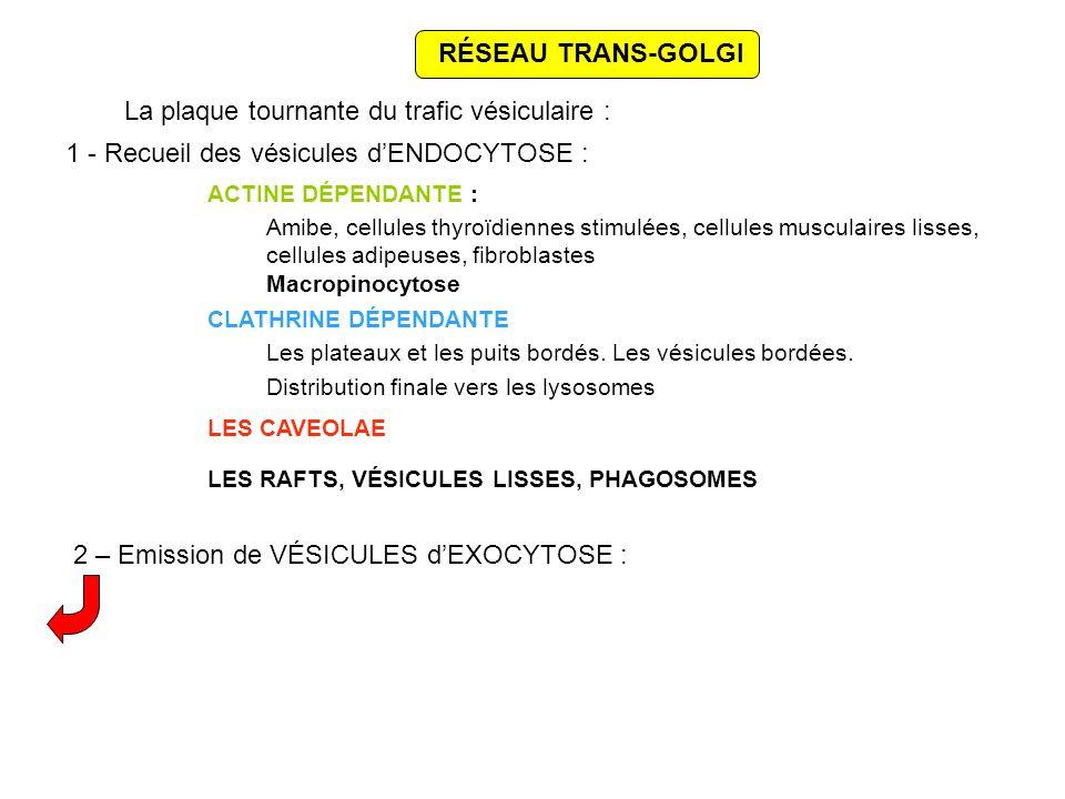 RÉSEAU TRANS-GOLGI La plaque tournante du trafic vésiculaire : 1 - Recueil des vésicules dENDOCYTOSE : ACTINE DÉPENDANTE : Amibe, cellules thyroïdiennes stimulées, cellules musculaires lisses, cellules adipeuses, fibroblastes Macropinocytose CLATHRINE DÉPENDANTE Les plateaux et les puits bordés.