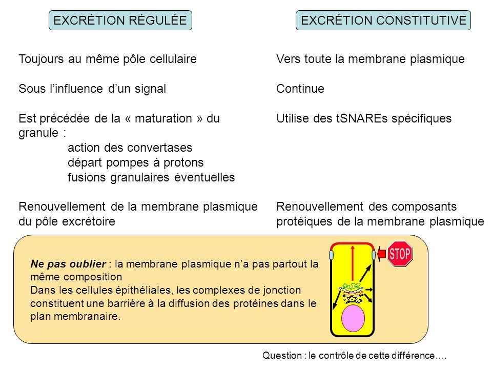 EXCRÉTION RÉGULÉEEXCRÉTION CONSTITUTIVE Toujours au même pôle cellulaire Sous linfluence dun signal Est précédée de la « maturation » du granule : action des convertases départ pompes à protons fusions granulaires éventuelles Renouvellement de la membrane plasmique du pôle excrétoire Vers toute la membrane plasmique Continue Utilise des tSNAREs spécifiques Renouvellement des composants protéiques de la membrane plasmique Ne pas oublier : la membrane plasmique na pas partout la même composition Dans les cellules épithéliales, les complexes de jonction constituent une barrière à la diffusion des protéines dans le plan membranaire.