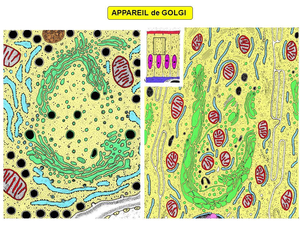 LES GLYCOSYLATIONS SULFATATIONS ADRESSAGE des PRODUITS ÉLABORÉS CLIVAGES PROTÉIQUES Grains de sécrétion & lysosomes Excrétion constitutive versus Excrétion régulée LES RAPPORTS AVEC LE RÉSEAU TRANS-GOLGIEN PHOSPHORYLATIONS SYNTHÈSES LIPIDIQUES