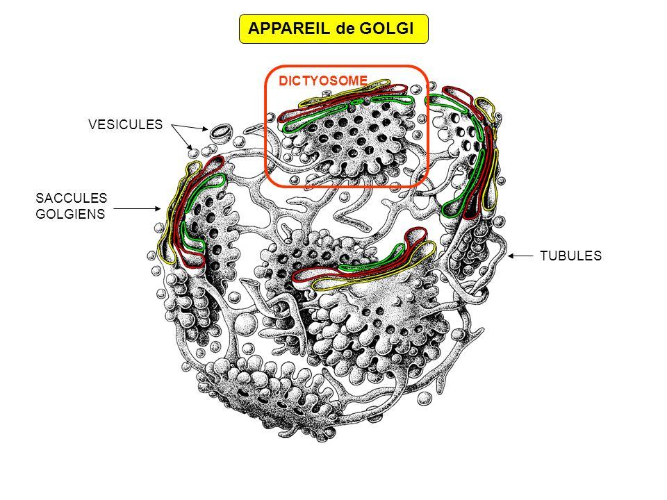 ORGANISATION dun DICTYOSOME RÉSEAU TRANS-GOLGIEN GOLGI TRANS GOLGI MEDIAN GOLGI CIS ERGIC REG MICROTUBULES Limites … Structure… Sacs maintenus ensembles par : - les microtubules protéines CLIMP, - des protéines membranaires périphériques diverses: GRASP, GMPs, etc.