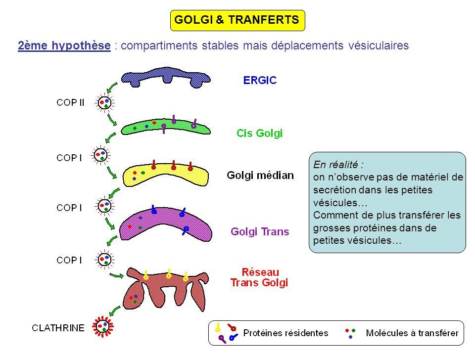 Les protéines SNAREs Une vingtaine de SNAREs sont actuellement connues protéines transmembranaires caractérisée par des domaines hélicoïdaux cytoplasmiques caractéristiques existent sous la forme de couples complémentaires: formation de complexes tSNARE-vSNARE stables RabxRabx-R t-SNAREv-SNARE Protéines de fusion Membrane plasmique GEP Rabx-GDP Rabx-GTP