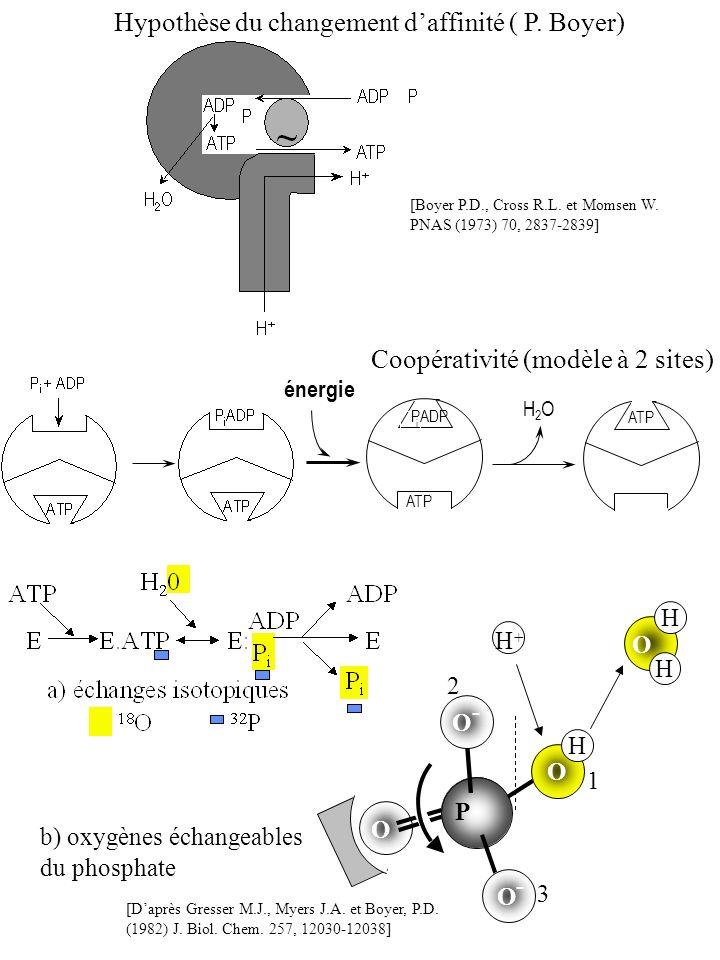 énergie H2OH2O Coopérativité (modèle à 2 sites) ATP P i ADP Hypothèse du changement daffinité ( P. Boyer) [Boyer P.D., Cross R.L. et Momsen W. PNAS (1