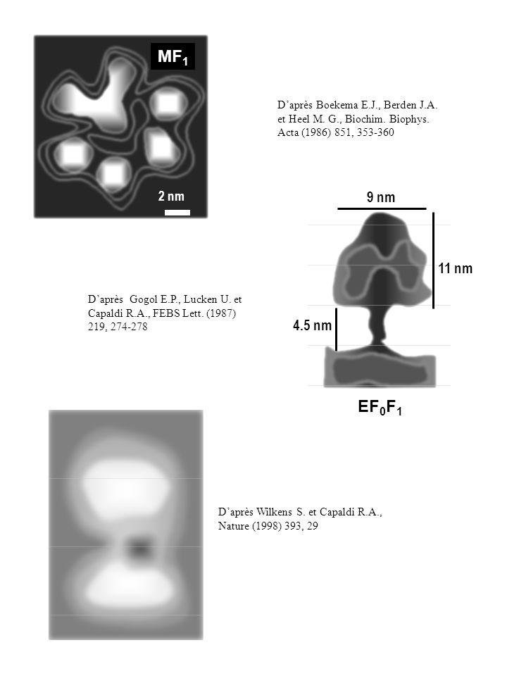 EF 0 F 1 9 nm 11 nm 4.5 nm MF 1 2 nm Daprès Boekema E.J., Berden J.A. et Heel M. G., Biochim. Biophys. Acta (1986) 851, 353-360 Daprès Gogol E.P., Luc