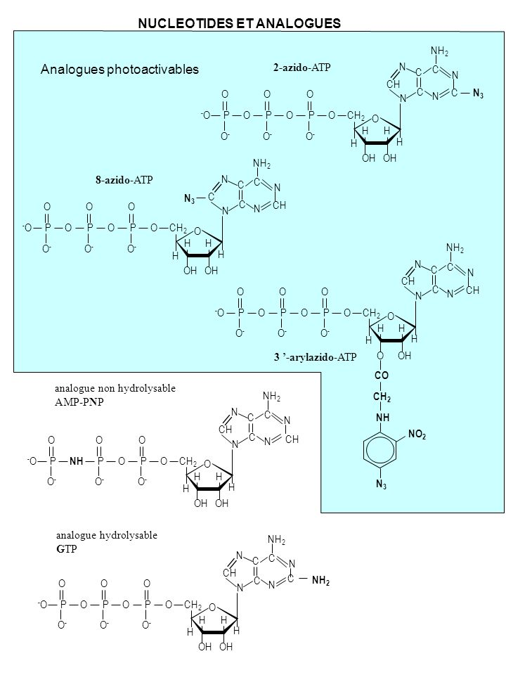 NUCLEOTIDES ET ANALOGUES Analogues photoactivables -O-O 3 -arylazido-ATP O O O HH H OH CO CH 2 NH N3N3 N N CH C C N C N NH 2 H CH 2 OP O O-O- OP O O-O