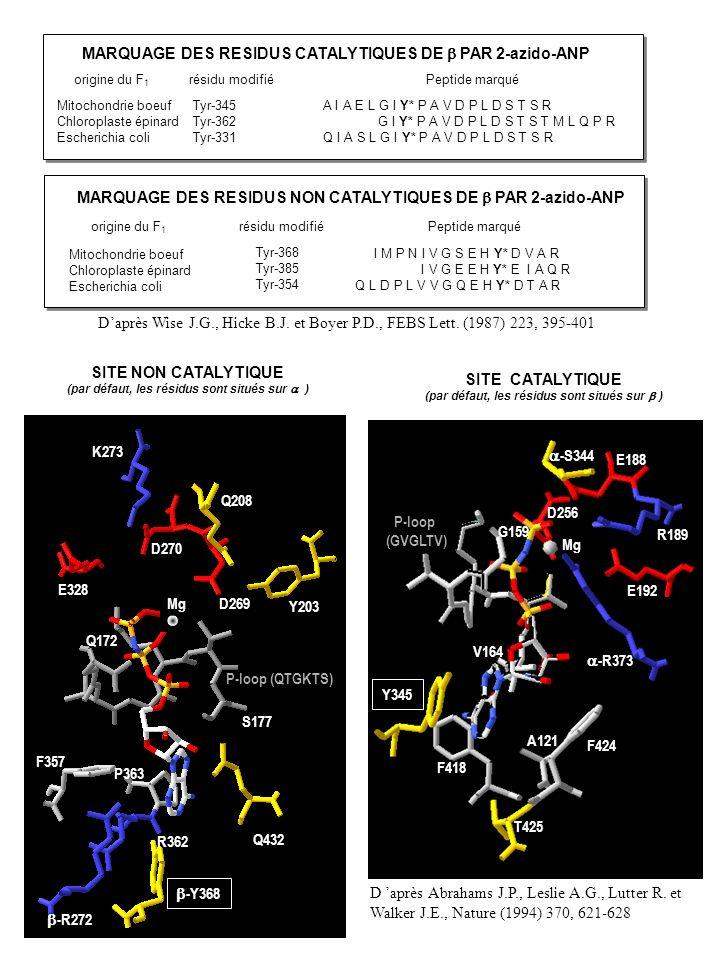 MARQUAGE DES RESIDUS CATALYTIQUES DE PAR 2-azido-ANP origine du F 1 résidu modifié Peptide marqué Mitochondrie boeuf Chloroplaste épinard Escherichia