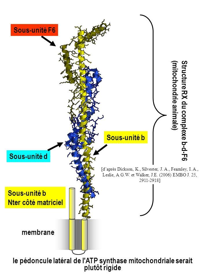Sous-unité b Sous-unité d Sous-unité F6 Sous-unité b Nter côté matriciel Structure RX du complexe b-d-F6 (mitochondrie animale) membrane [daprès Dicks