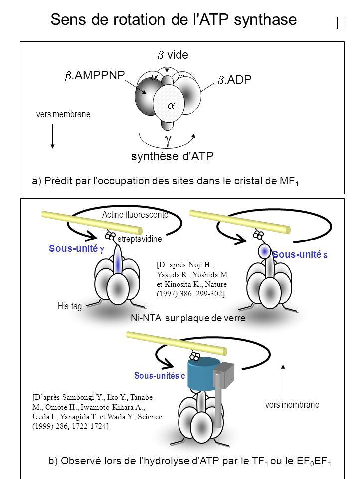Sens de rotation de l'ATP synthase vide.AMPPNP.ADP synthèse d'ATP vers membrane a) Prédit par l'occupation des sites dans le cristal de MF 1 b) Observ