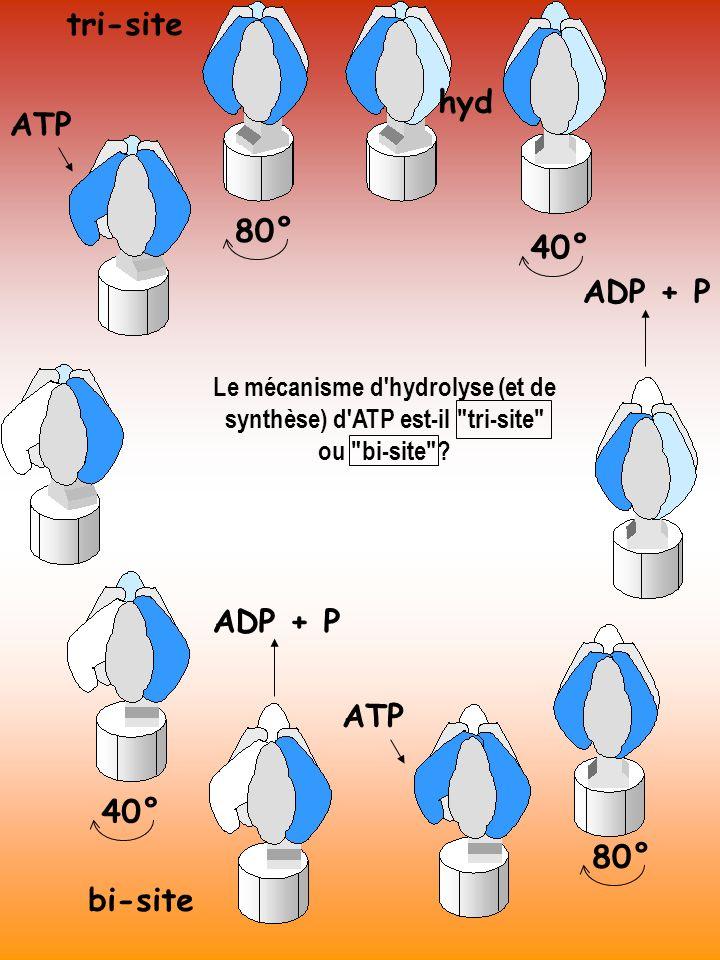ATP hyd ADP + P 80° 40° ADP + P ATP 80° tri-site bi-site Le mécanisme d'hydrolyse (et de synthèse) d'ATP est-il