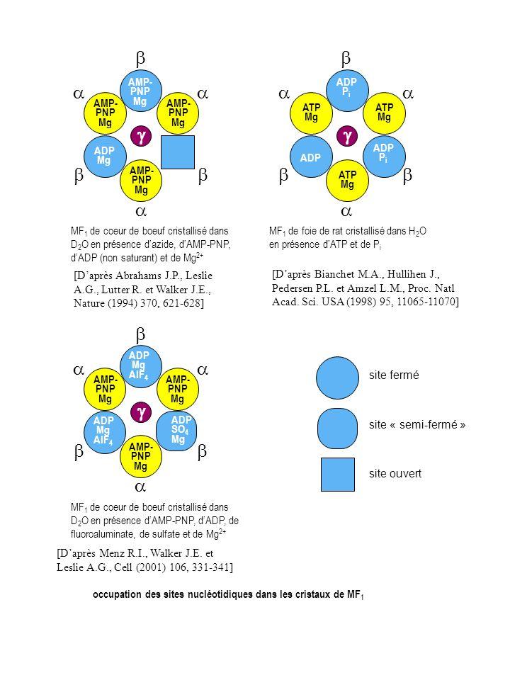 occupation des sites nucléotidiques dans les cristaux de MF 1 MF 1 de coeur de boeuf cristallisé dans D 2 O en présence dazide, dAMP-PNP, dADP (non sa