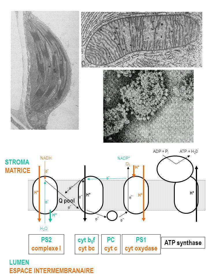 MARQUAGE DES RESIDUS CATALYTIQUES DE PAR 2-azido-ANP origine du F 1 résidu modifié Peptide marqué Mitochondrie boeuf Chloroplaste épinard Escherichia coli Tyr-345 Tyr-362 Tyr-331 A I A E L G I Y* P A V D P L D S T S R G I Y* P A V D P L D S T S T M L Q P R Q I A S L G I Y* P A V D P L D S T S R I M P N I V G S E H Y* D V A R I V G E E H Y* E I A Q R Q L D P L V V G Q E H Y* D T A R MARQUAGE DES RESIDUS NON CATALYTIQUES DE PAR 2-azido-ANP origine du F 1 résidu modifié Peptide marqué Mitochondrie boeuf Chloroplaste épinard Escherichia coli Tyr-368 Tyr-385 Tyr-354 Daprès Wise J.G., Hicke B.J.