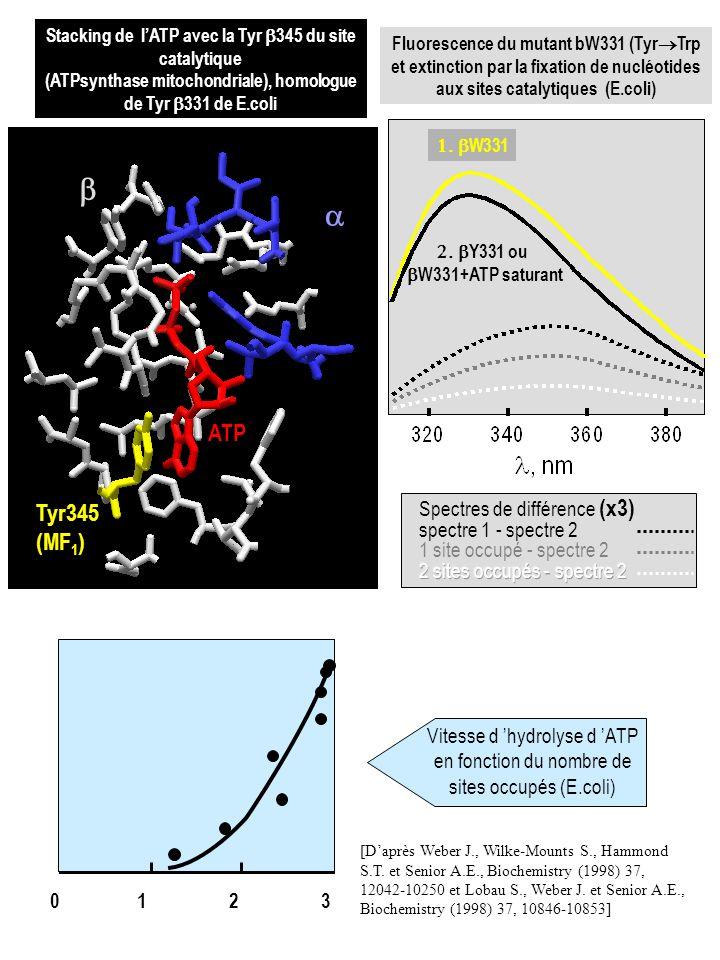 Tyr345 (MF 1 ) ATP Stacking de lATP avec la Tyr 345 du site catalytique (ATPsynthase mitochondriale), homologue de Tyr 331 de E.coli Y331 ou W331+ATP