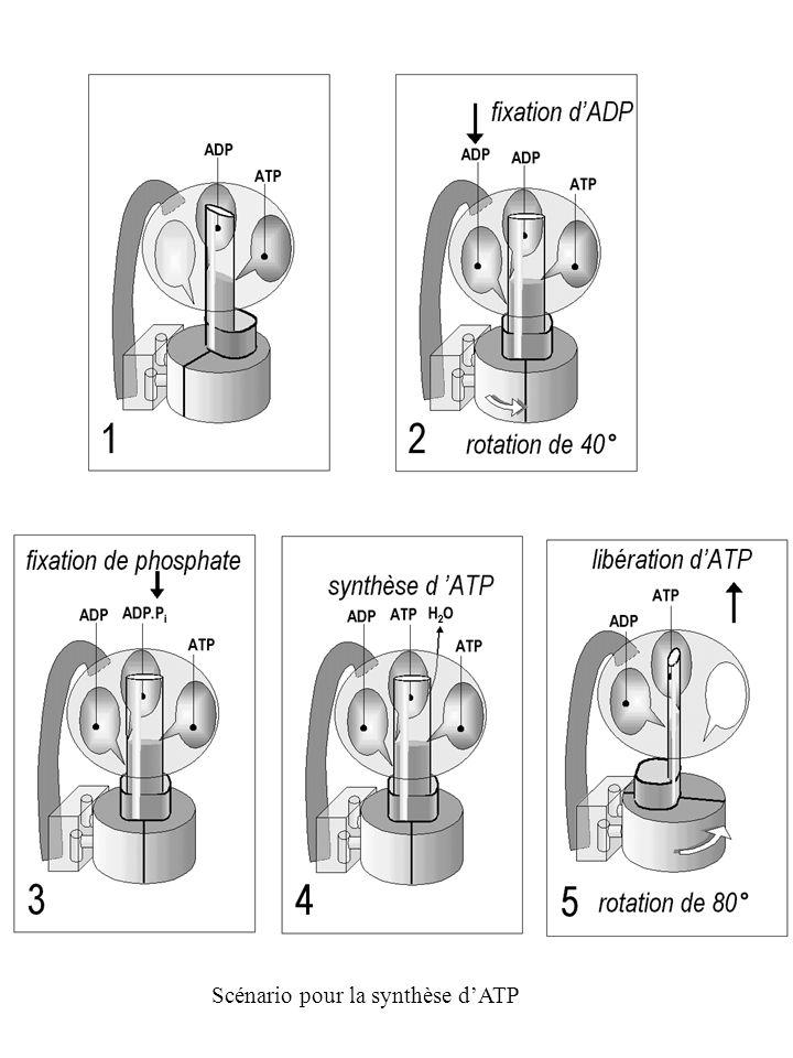 Scénario pour la synthèse dATP